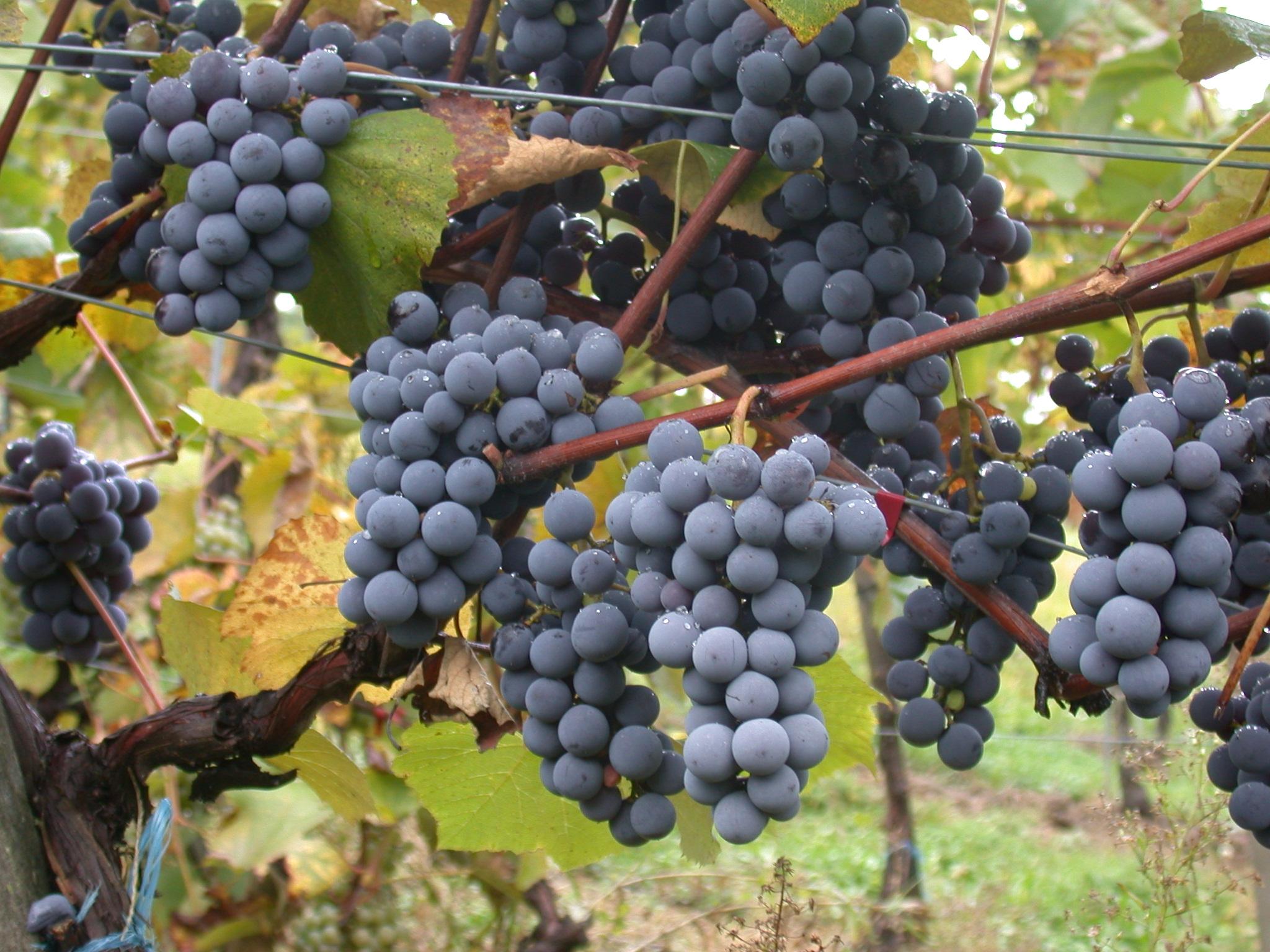 pinotage vin afrique du sud
