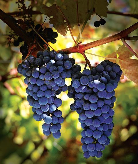carmenere vin chilien
