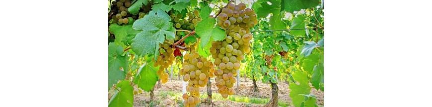 Vins italiens- Les Meilleurs Grillo